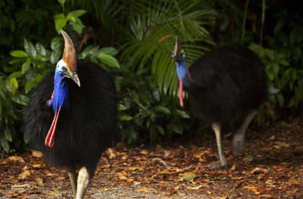 daintree rainforest tours fan palms cassowaries